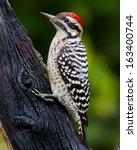 Male Ladder Backed Woodpecker ...