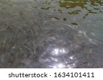 A Multitude Of Fish Swam In Th...