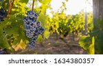 Red Grapes Growing On Vine In...