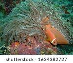 Maldives anemonefish (Amphiprion nigripes) in a sea anemone, Maldives