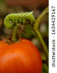 A Tomato Horn Worm Devours His...