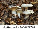 A Tasty Mushroom Clitocybe...