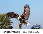 American Bald Eagle At A Wheels ...