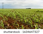 Cornfield In The Beginning With ...