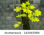 Autumn Yellow Maple Leaves