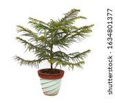Norfolk Island Pine Plant Tree...