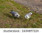 Two Laughing Gulls  Larus...