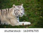 bengal tiger | Shutterstock . vector #163496705