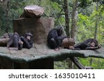 The Chimpanzee  Pan Troglodyte...