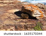 Rock Hyrax Warms Up In The...