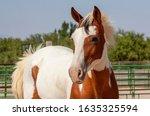 Endangered Spanish Barb Horse...