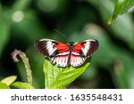 Piano Key Butterfly Heliconius...