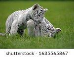 White Tiger Panthera Tigris ...