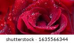 Red Rose With Water Drops....