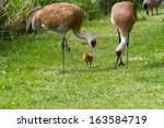 Sandhill Crane And 7 Days Old...