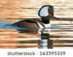 Male Hooded Merganser Swimming...