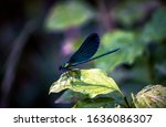 Emerald Dragonfly With Blue...