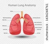 lung anatomy vector... | Shutterstock .eps vector #1636268761