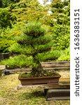 July 2019. Bonsai Tree From...