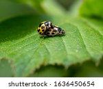 A Pair Of 14 Spot Ladybirds ...