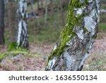 Green Moss  Bryophyta On Birch...