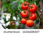 Ripe Red Organic Tomato In...
