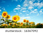 A Field Of Sunflowers Under Sk...