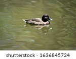 The White Eyed Duck Or Maned...
