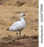 A  Solitary Snow Goose Standing ...