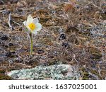 The First Spring Flower   A...