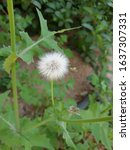 Small photo of Dandelion blossom plant after its maturity and turning into volatile parts