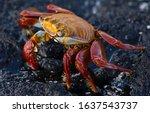 Sally Lightfoot Crab On...