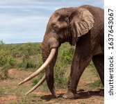 Small photo of Big Tim, Amboseli tusker elephant