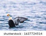King Eider Duck  North Pole