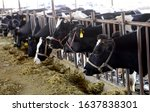 Many Cows Are Grazing In The...
