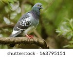 Feral Pigeon Perched On The...