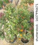 Tree Of Lantana Camara Flower...