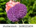 Globemaster Allium Flowers In...