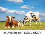 Two Cows Are Together In The...