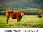 Curious Brown Cow In A Meadow...