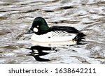 Golden Eye Duck Swimming In The ...