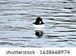 Golden Eyed Duck Swimming In...
