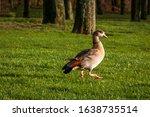 The Egyptian Goose Near The...