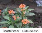 Crossandra Flowers ...