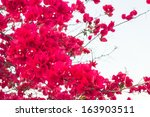 Red Blooming Bougainvilleas