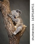 Little Koala Bear Is Sleeping