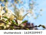 White Magnolia Kobus Flowers...