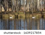 Two Swans On An Autumn Pond ...