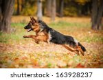 Stock photo german shepherd dog playing in autumn 163928237
