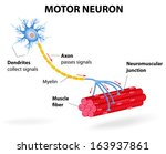structure motor neuron. include ...